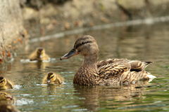 Female mallard duck with offspring Stock Images