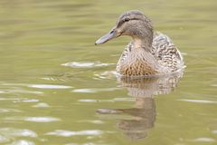 A female mallard duck on the Ornamental Pond, Southampton Common stock photography