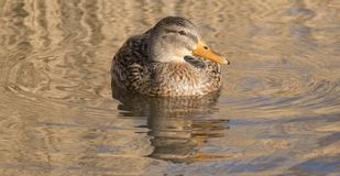 A female mallard duck on the Ornamental Pond Southampton Common Royalty Free Stock Photos