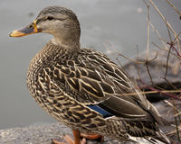 Female Mallard Duck Outside Near a Pond in the Winter Time. A female Mallard duck sitting on the edge of a pond in the winter Royalty Free Stock Image