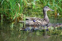 Female Mallard duck on a pond Stock Image