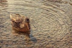 Female Mallard Duck on a Pond Stock Photo