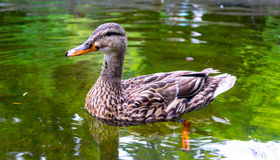 Female Mallard Duck on pond Royalty Free Stock Image