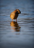 Female Mallard Duck Preening On Rippling Blue Water. A female mallard duck on attractive rippling blue water contrasting with her speckled beige plumage and Royalty Free Stock Images