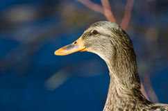 Female Mallard Duck Profile. Close Up of a Mallard Duck Profile Royalty Free Stock Photography