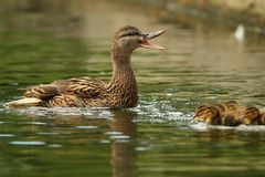 Female mallard duck quacking. To people in the park for popcorn Royalty Free Stock Images