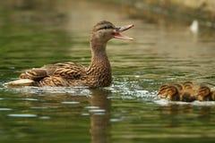 Female mallard duck quacking Royalty Free Stock Images
