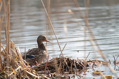 Female mallard duck in the reed on the shore Royalty Free Stock Photo