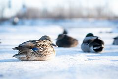 Wild female duck with her flock resting on delicate snow royalty free stock images