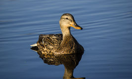 Female Mallard Duck. Duck resting in pond with reflection Royalty Free Stock Photography