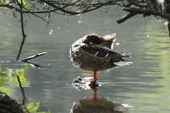 Female Mallard Duck Resting on a Rock in the Lake. Peaceful scene with a female mallard duck resting on a rock in a lake Stock Photo
