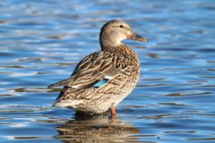 Resting Female Mallard Duck. A female mallard duck resting in the shallow water at the edge of  on a pond Royalty Free Stock Photo