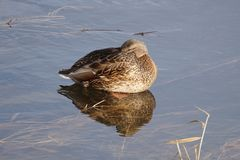 Female Mallard Duck resting on water Stock Photography
