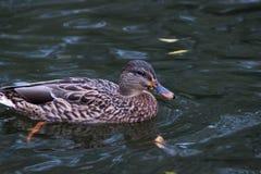 Female mallard duck in the river. A Female mallard duck in the river Royalty Free Stock Photography