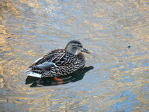 Female Mallard duck on the river-Stock Photos Royalty Free Stock Images
