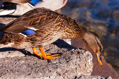 Female Mallard Duck. On a rock in a lake Stock Photography