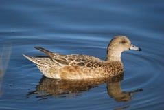 Female Mallard duck Stock Photos