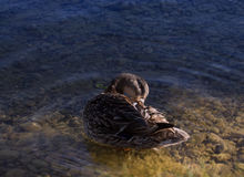 Female mallard duck. The duck sits at the edge of the water and brushes her plumage Stock Image