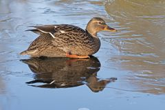 A female mallard duck sitting on the ice : Southampton Common. A female mallard duck sitting on the ice on the Cemetery Lake, Southampton Common, Hampshire, UK Royalty Free Stock Photos