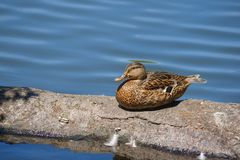 Female Mallard Duck sitting on a log. A female Mallard duck a species of dabbling duck rest on a log at the edge of a pond Royalty Free Stock Photography