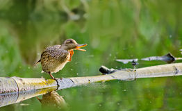 Female mallard duck Sitting on Log in a Lake. Female mallard duck Sitting on a Log in a Lake and quacking Stock Images