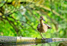 Female mallard duck Sitting on Log in a Lake. Female mallard duck stay on one leg on a Log in a Lake and quacking Royalty Free Stock Image