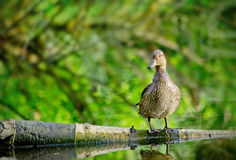 Female mallard duck Sitting on Log in a Lake. Female mallard duck stay on one leg on a Log in a Lake and quacking Royalty Free Stock Photography
