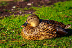 Female Mallard Royalty Free Stock Photos