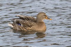 A female mallard duck on Southampton Common royalty free stock photos