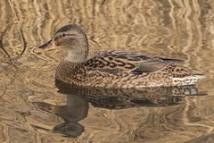 A female mallard duck on Southampton Common. A female mallard duck on the Ornamental Lake, Southampton Common, Hampshire, UK. The reeds reflect a golden hue onto Stock Image