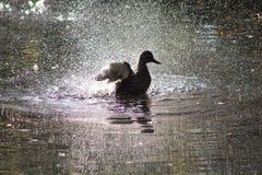 Female Mallard Duck. Female mallard splashing around on lake Royalty Free Stock Photo