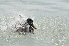 Female Mallard Duck Splashing Water. Closeup on a Summer Day Royalty Free Stock Images