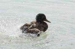 Female Mallard Duck Splashing Water. Closeup on a Summer Day Stock Images