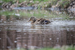Female Mallard Duck splashing with water droplets Stock Images