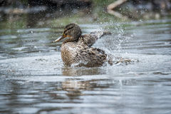 Female Mallard Duck splashing with water droplets Stock Photography