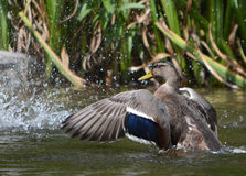 Female mallard duck splashing with water droplets Stock Image