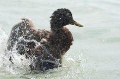 Female Mallard Duck Splashing Water. Closeup on a Summer Day Stock Photos