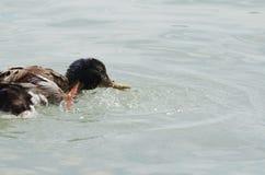 Female Mallard Duck Splashing Water. Closeup on a Summer Day Stock Photography