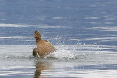 Female mallard duck. Splashing water during mating season Stock Photo