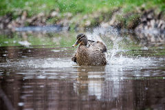 Female Mallard Duck Royalty Free Stock Photography