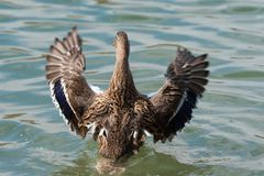 Female Mallard duck with spreading wings. Female Mallard Duck with wide wings in a lake. The wings splash water drops Stock Photos