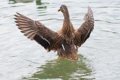 Female Mallard duck with spreading wings. Female Mallard Duck with wide wings in a lake. The wings splash water drops Stock Photo