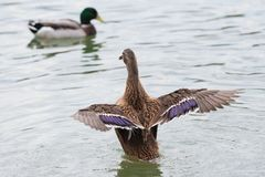 Female Mallard duck with spreading wings. Female Mallard Duck with wide wings in a lake. The wings splash water drops Royalty Free Stock Image