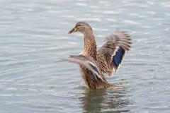 Female Mallard duck with spreading wings. Female Mallard Duck with wide wings in a lake. The wings splash water drops Royalty Free Stock Photo