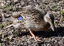 Female Mallard Duck. This is a Spring picture of a female Mallard Duck poking along the ground on the bank of the South Pond in Lincoln Park located in Chicago Royalty Free Stock Images
