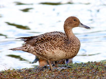 Female Mallard Duck. Standing in front of water Royalty Free Stock Photos