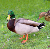Female Mallard Duck standing in grass. Female Mallard Duck Couple standing in grass Royalty Free Stock Photography