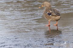 A mallard duck standing on ice. A female mallard duck  standing on ice on the Cemetery Lake on Southampton Common, Hampshire, UK Royalty Free Stock Photos