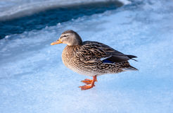 Female mallard duck standing on ice. Single female mallard duck standing on ice on river Royalty Free Stock Photography
