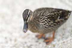 Female mallard duck standing near the Seine River, France. Female mallard duck standing near the Seine River,  France Stock Photo